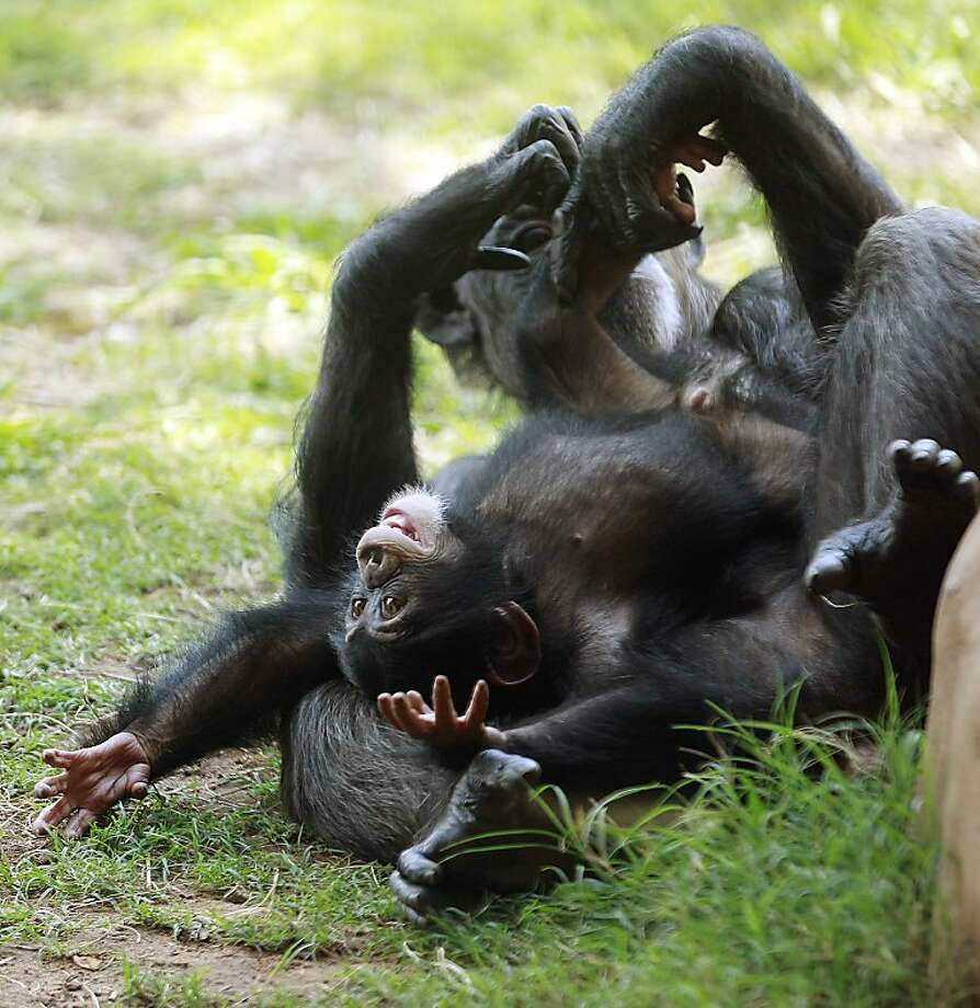 Chimpanzee Ruben plays on his surrogate mother, Kito, at the Oklahoma City Zoo in Oklahoma City, Monday, Sept. 17, 2012. Ruben's mother, Rukiya, died just 24 hours after giving birth during a medical procedure. After being hand-raised at Tampa's Lowry Park Zoo, 7-month-old Ruben arrived at the Oklahoma City Zoo on July 30, 2012, and is slowly being introduced to the other members of his chimp family. (AP Photo/Sue Ogrocki) Photo: Sue Ogrocki, Associated Press