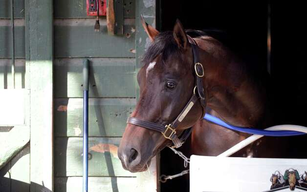 Travers combatant Atigun relaxes in his stall in Kenny McPeek's barn at the Oklahoma Training Center in Saratoga Springs, N.Y. Sept. 17, 2012    (Skip Dickstein/Times Union) Photo: Skip Dickstein / 00019283A