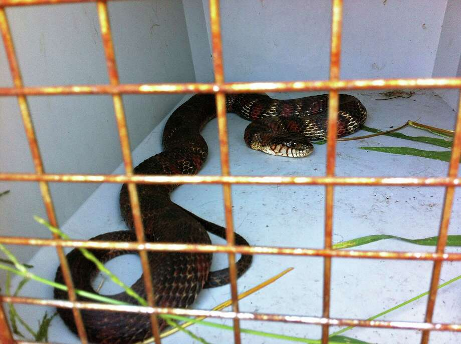 Animal Control officers took a five-foot northern watersnake from the front yard of a Samp Mortar Drive home Monday morning. The snake, native to the area, was later released back into the wild. Photo: Contributed Photo / Fairfield Citizen