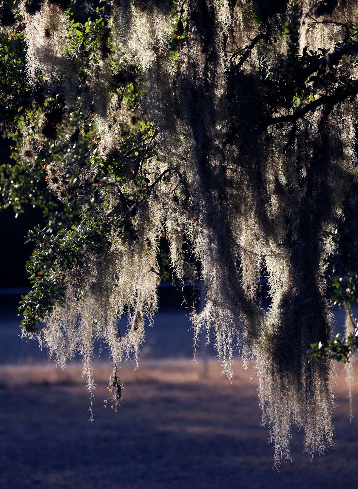 Spanish moss hangs from an oak tree in Grey Forest near Scenic Loop Road. The area's natural beauty is what has attracted many to the area.