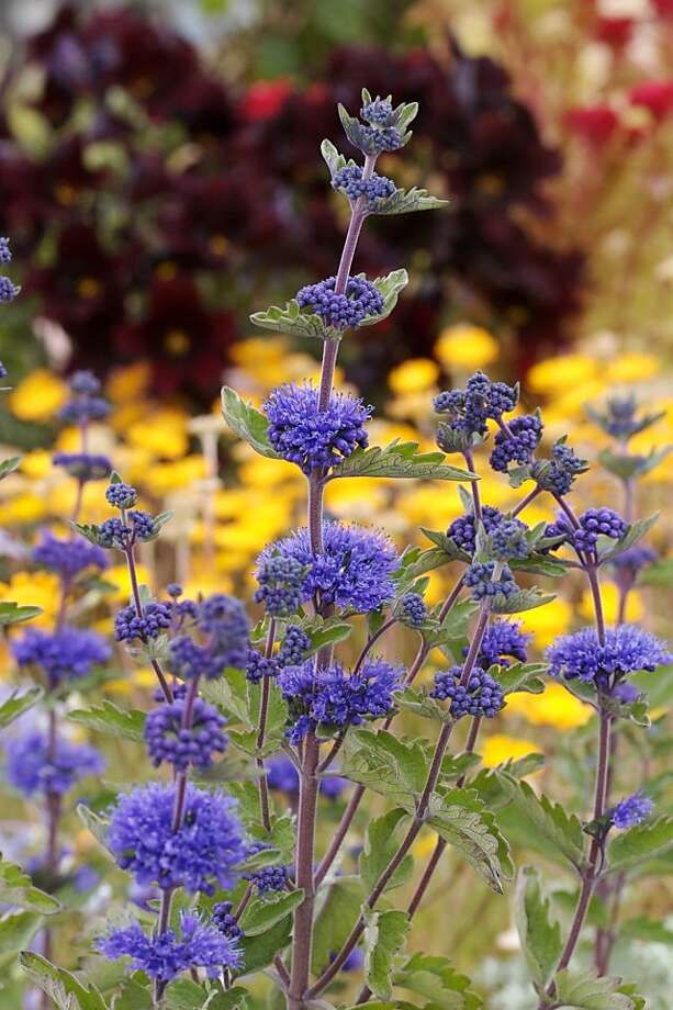 Fast-growing Caryopteris is native to mountainous eastern Asia. Photo: Annie's Annuals & Perennials