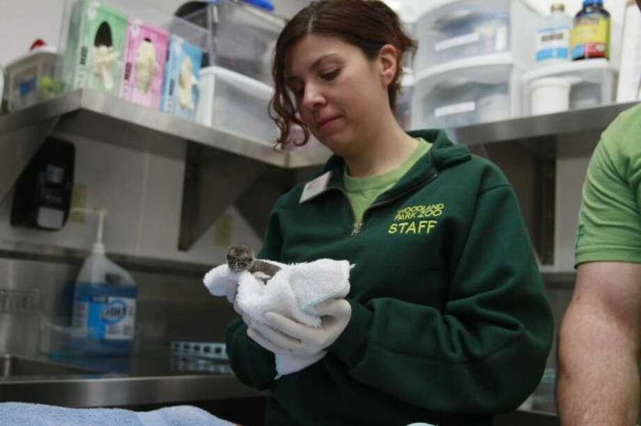 A Humboldt penguin chick is brought into the penguin unit to be inspected by keeper staff at the Woodland Park Zoo in Seattle on Thursday, April 11, 2012. A pair of Humboldt penguins have hatched at the Woodland Park Zoo. They are the the first chicks of the penguin breeding season to hatch at the zoo.(Sofia Jaramillo / SEATTLEPI.COM)