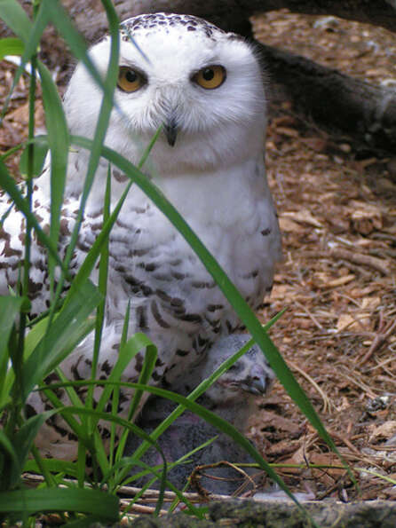 A snowy owl (below), with its mother, hatched at Woodland Park Zoo on June 13.