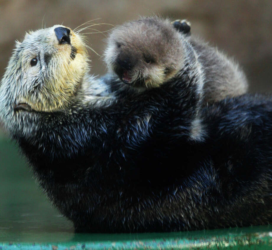 Aniak, a sea otter at the Seattle Aquarium, plays with her yet-to-be named daughter, Thursday, Jan. 26, 2012, in Seattle. The baby was born on Jan. 14, 2012 and will be named in February, after the public votes on a selection of names prepared by the Aquarium staff. Photo: Ted S. Warren / Associated Press