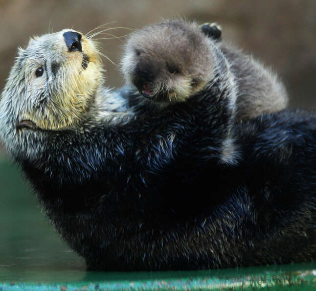 Aniak, a sea otter at the Seattle Aquarium, plays with her yet-to-be named daughter, Thursday, Jan.