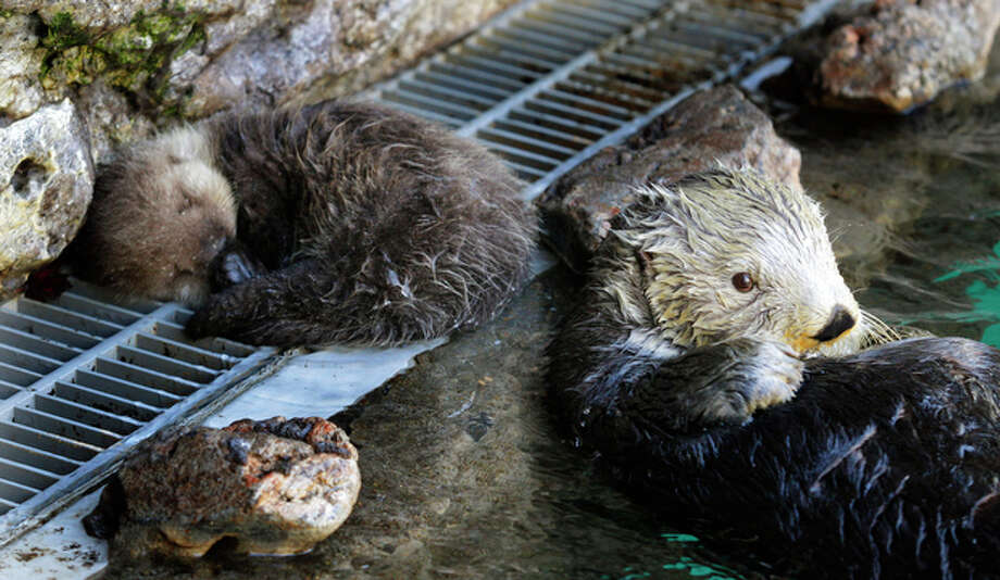Aniak, right, a sea otter at the Seattle Aquarium, takes a break from grooming as her yet-to-be named daughter naps at left, Thursday, Jan. 26, 2012, in Seattle. The baby was born on Jan. 14, 2012 and will be named in February, after the public votes on a selection of names prepared by the Aquarium staff. Photo: Ted S. Warren / Associated Press