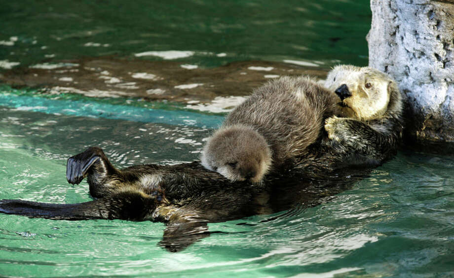 Aniak, a sea otter at the Seattle Aquarium, swims with her yet-to-be named daughter on her chest, Thursday, Jan. 26, 2012, in Seattle. The baby was born on Jan. 14, 2012 and will be named in February, after the public votes on a selection of names prepared by the Aquarium staff. Photo: Ted S. Warren / Associated Press