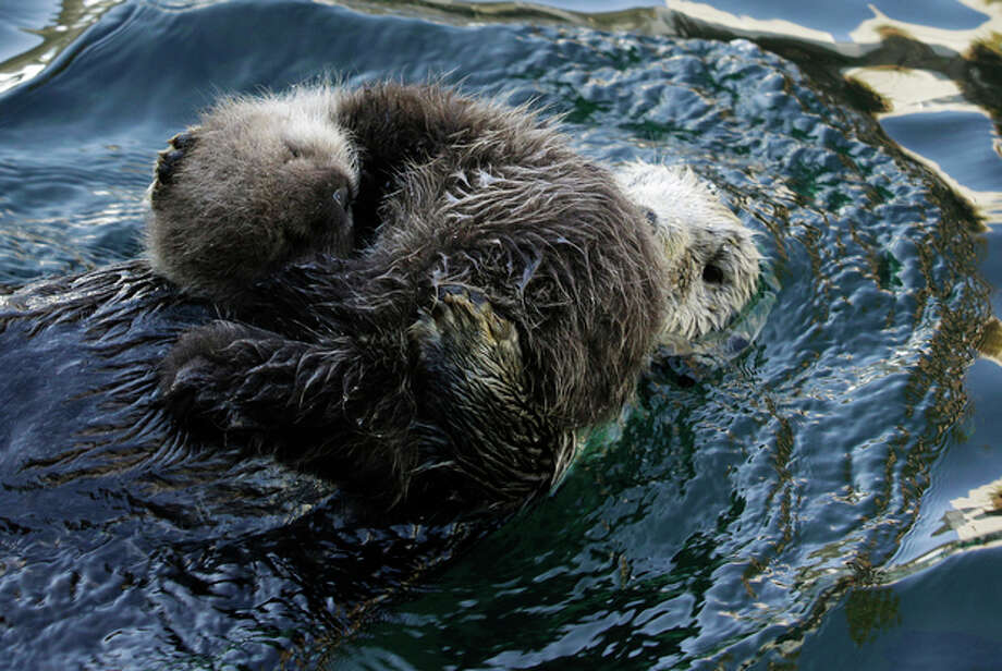Aniak, a sea otter at the Seattle Aquarium, swims as her yet-to-be named daughter naps on her chest, Thursday, Jan. 26, 2012, in Seattle. The baby was born on Jan. 14, 2012 and will be named in February, after the public votes on a selection of names prepared by the Aquarium staff. Photo: Ted S. Warren / Associated Press