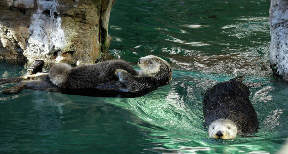 Aniak, left, a sea otter at the Seattle Aquarium, swims with her yet-to-be named daughter on her chest, Thursday, Jan. 26, 2012, in Seattle, as Aniak's mother, Lootas, swims by at right. The baby was born on Jan. 14, 2012 and will be named in February, after the public votes on a selection of names prepared by the Aquarium staff. Photo: Ted S. Warren / Associated Press