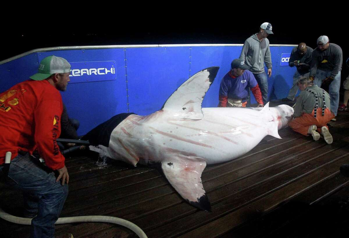 In this Sept. 13, 2012, photo, scientists collect blood and tissue samples from a female great white shark on the research vessel Ocearch in the Atlantic Ocean off the coast of Chatham, Mass. Before release, the nearly 15-foot, 2,292-pound shark was named Genie for famed shark researcher Eugenie Clark. The Ocearch team baits the fish and leads them onto a lift, tagging and taking blood, tissue and semen samples up close from the worldÃ'Â's most feared predator. The real-time satellite tag tracks the shark each time its dorsal fin breaks the surface, plotting its location on a map.