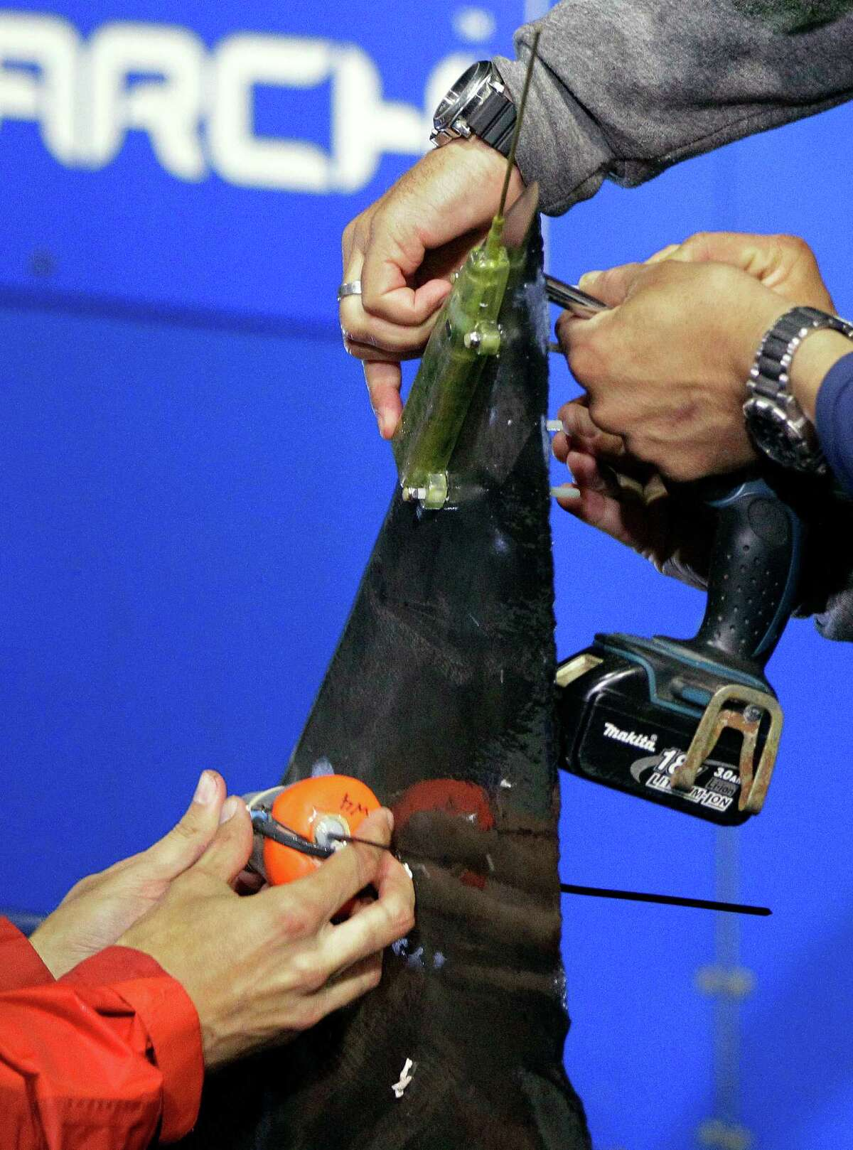 In this Sept. 13, 2012, photo, researchers screw satellite and acoustic tags onto the dorsal fin of a great white shark on the research vessel Ocearch in the Atlantic Ocean off the coast of Chatham, Mass. Once released, the tags will track the location and speed of the nearly 15-foot, 2,292-pound Genie, named for famed shark researcher Eugenie Clark. The Ocearch team baits the fish and leads them onto a lift, tagging and taking blood, tissue and semen samples up close from the worldÃ'Â's most feared predator. The real-time satellite tag tracks the shark each time its dorsal fin breaks the surface, plotting its location on a map.