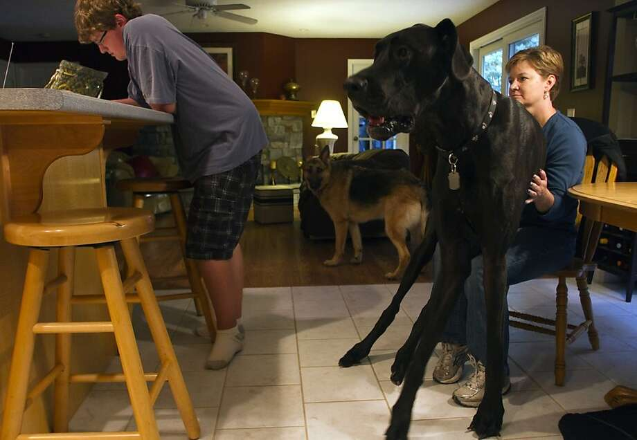 Not a horse. It's Zeus, the world's tallest dog, as recognized by Guinness World Records 2013. The 3-year-old Great Dane measures 44 inches from foot to shoulder and stretches to 7-foot-4 standing on his hind legs. And even though he doesn't fit, he loves to sit on laps. Is that cracking sound Denise's chair? Photo: Josh Mauser, Associated Press