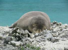 A Hawaiian monk seal rests on the shore in Hawaii (photo by NOAA permit.)