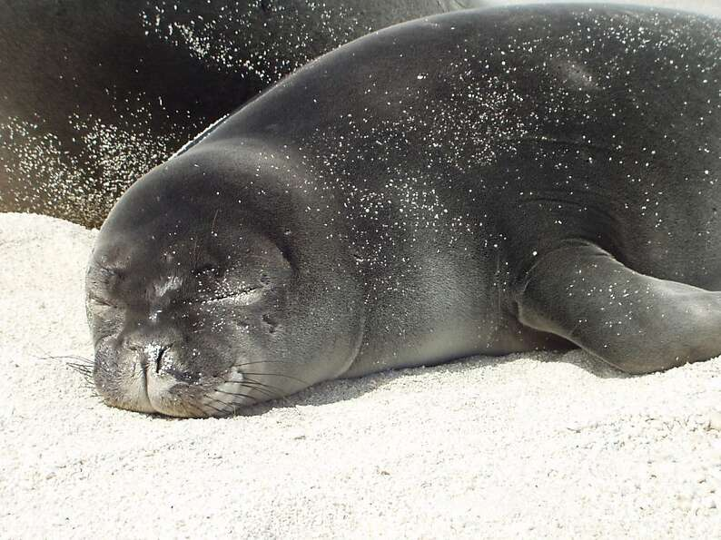 Most people who encounter a Hawaiian monk seal in the wild do so when the endangered marine mamma