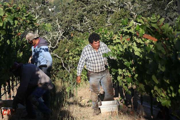 The picking crew at Hanzell Vineyards in Sonoma harvests Chardonnay in late August. Photo: Liz Hafalia, The Chronicle