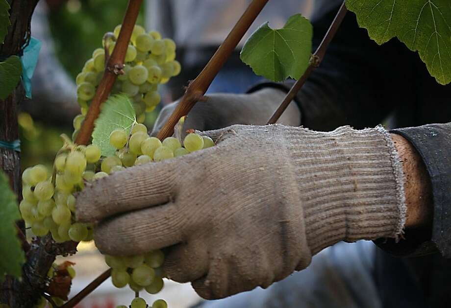 Chardonnay grapes are harvested in Sonoma at Hanzell Vineyards. Photo: Liz Hafalia, The Chronicle