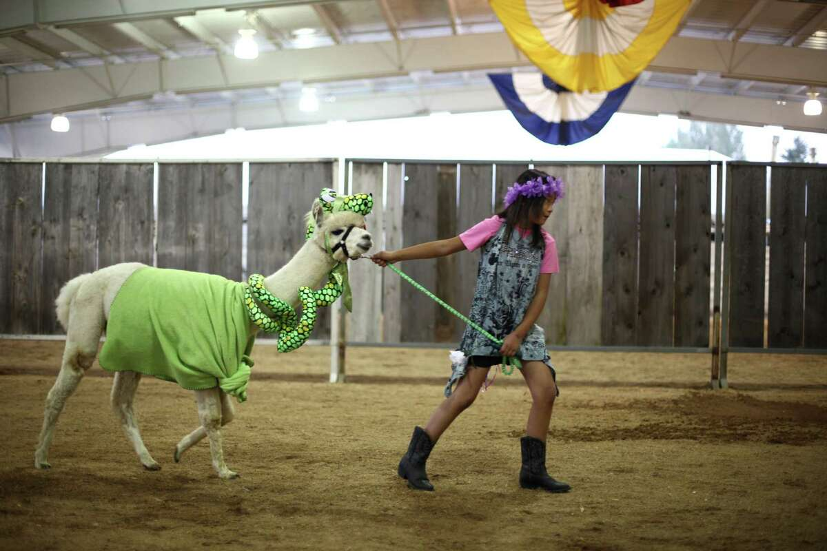 4-H and FFA members participate in an animal costume contest at the Puyallup Fair, soon to be known as the Washington State Fair, on Saturday, September 15, 2012.