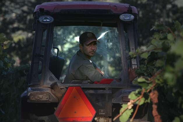 Ruben Garcia drives a tractor in Hanzell Vineyards. The weather brought an earlier harvest after two late-ripening years. Photo: Liz Hafalia, The Chronicle