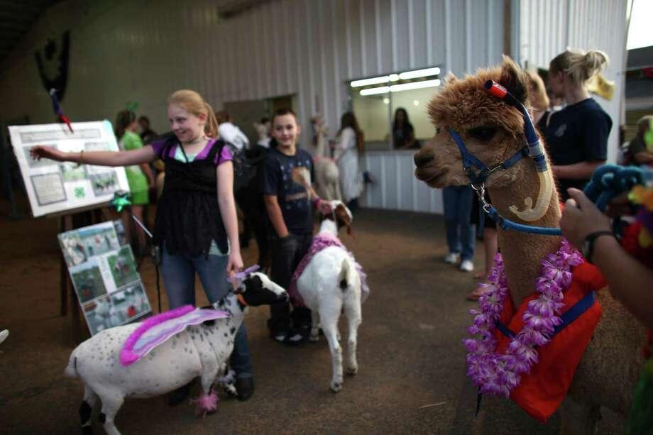 4-H and FFA members participate in an animal costume contest at the Puyallup Fair. Photo: JOSHUA TRUJILLO / SEATTLEPI.COM
