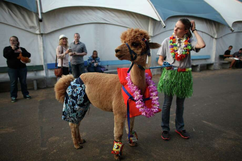 Grace Montgomery, 16, and her alpaca Buster participate in an animal costume contest. Photo: JOSHUA TRUJILLO / SEATTLEPI.COM