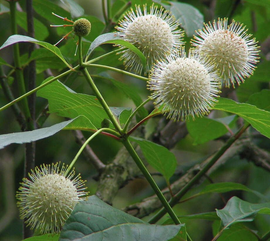 Buttonbush grows in wet areas.
