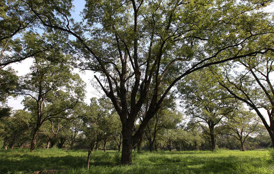 A view of a grove of pecan trees at Helton San Antonio Nature Park - an extension of the Saspamco Paddling Trail - overseen by the San Antonio River Authority (SARA) on Thursday, Sept. 20, 2012. The paddling trail is now open for public use and snakes along a 12-mile stretch of the San Antonio River. In two weeks, SARA will host a public opening event at the 99-acre nature park which is situated at the end of the paddling trail in Wilson County. The start of the paddling trail is about 20 miles from downtown San Antonio. Photo: Kin Man Hui, SAN ANTONIO EXPRESS-NEWS / ©2012 San Antonio Express-News