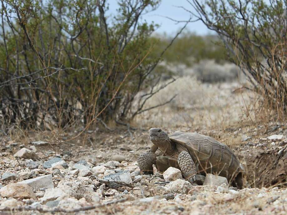 Tortoises are being relocated for a solar energy project. Photo: BrightSource Energy Inc, Via Bloomberg