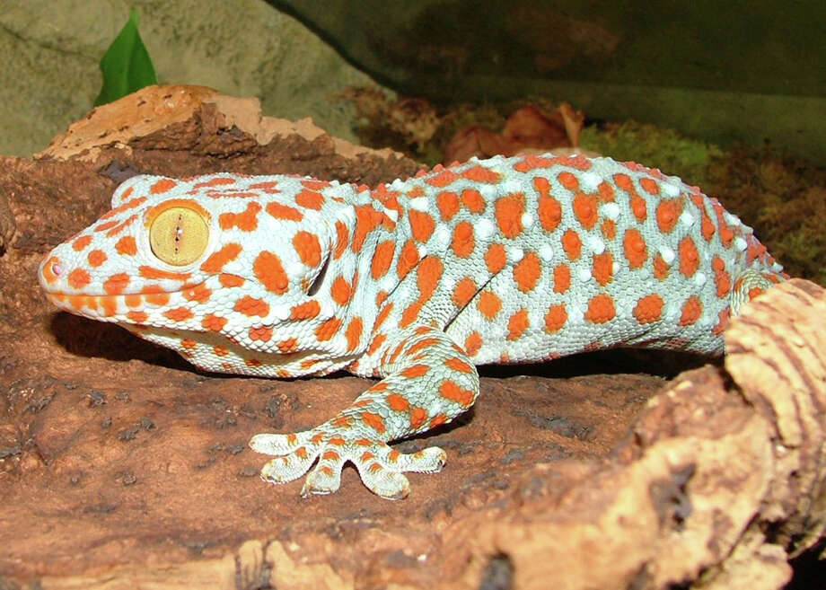 Reptiles and amphibians such as the Tokay Gecko will be featured at the annual East Texas Herpetological Society expo and conference. / handout