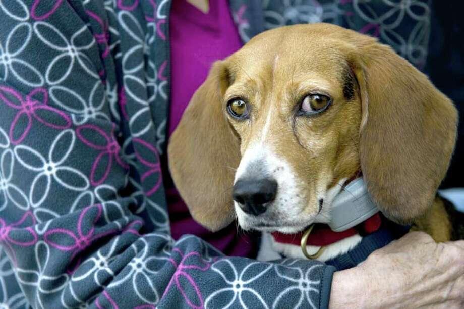 No. 5: The Beagle