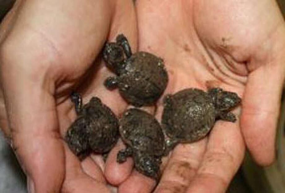 Four of the five Madagascar turtles born at the Houston zoo. (Houston zoo via Facebook)