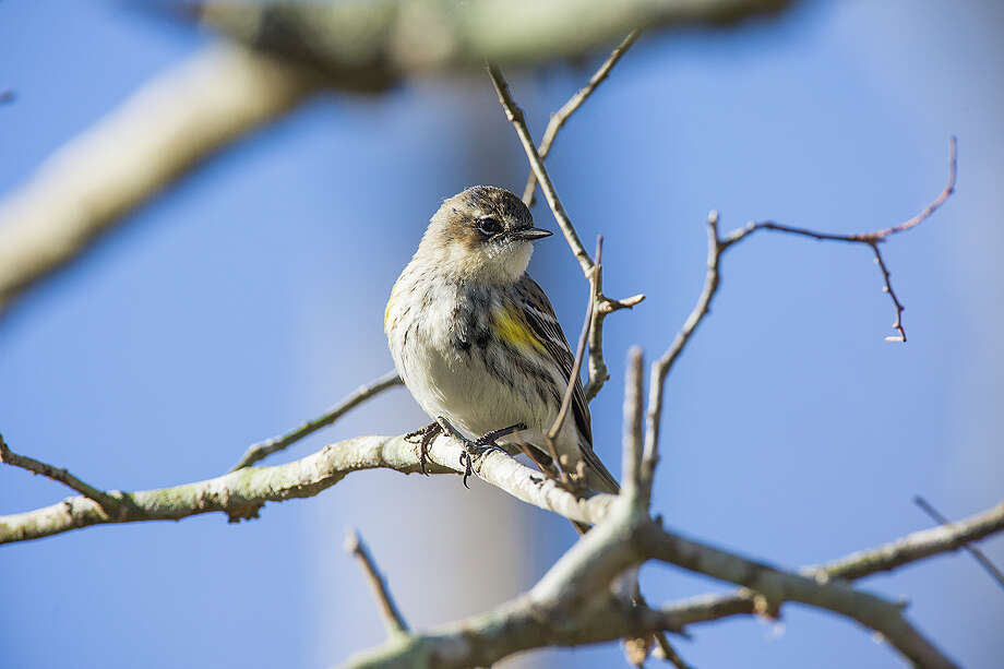 The yellow-rumped warbler will show up in October and stay through the winter. Photo: Kathy Adams Clark / Kathy Adams Clark/KAC Productions