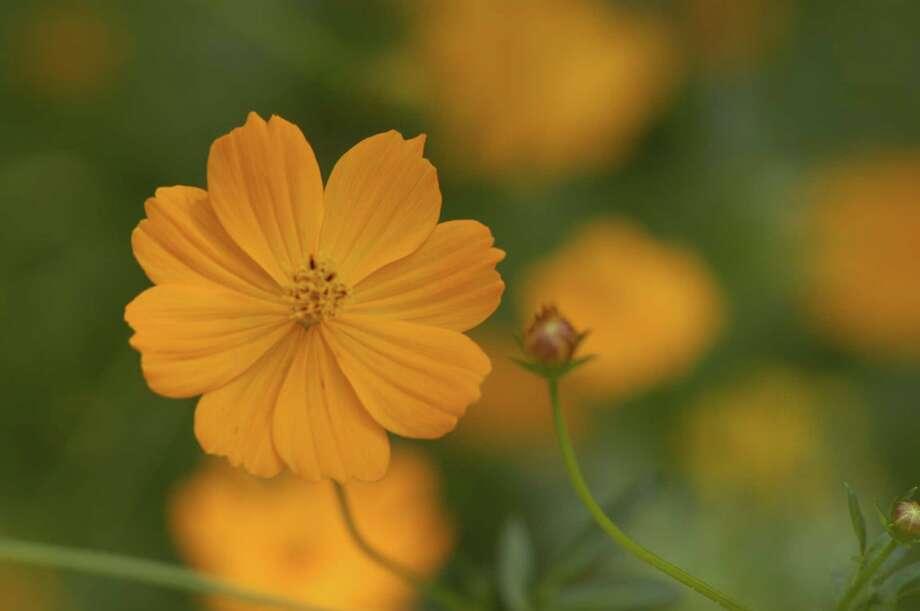 The Kids Korner at Mercer's Garden Faire will feature plant-related activities such as growing 'Klondike' cosmos from seed. The event is 8 a.m.-4 p.m. Saturday and sunday. Photo: E. Joseph Deering / Houston Chronicle