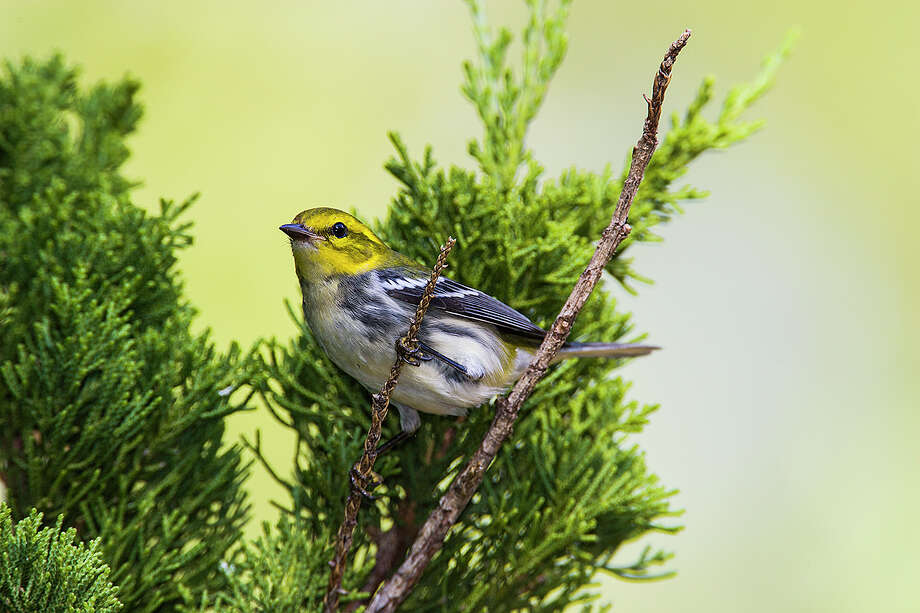 Fall warblers are moving through Texas. The black-throated green warbler is easy to recognize with its bright yellow face. Photo: Kathy Adams Clark / Kathy Adams Clark/KAC Productions