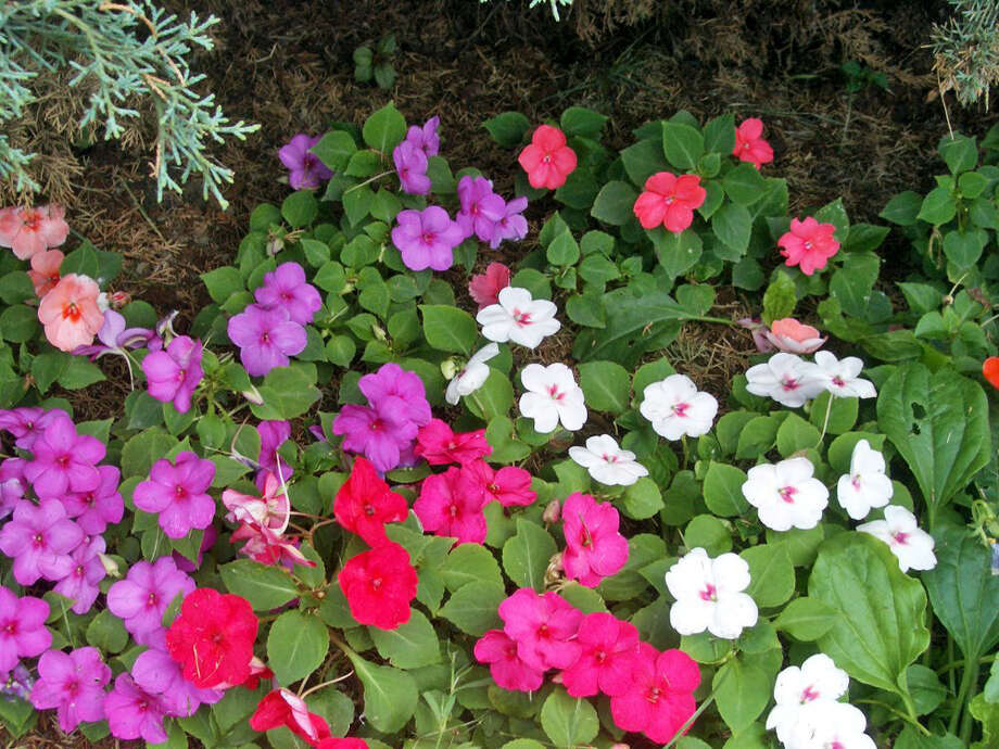Give impatiens a boost by pruning, fertilizing and watering. Photo: File Photo / THE WASHINGTON POST