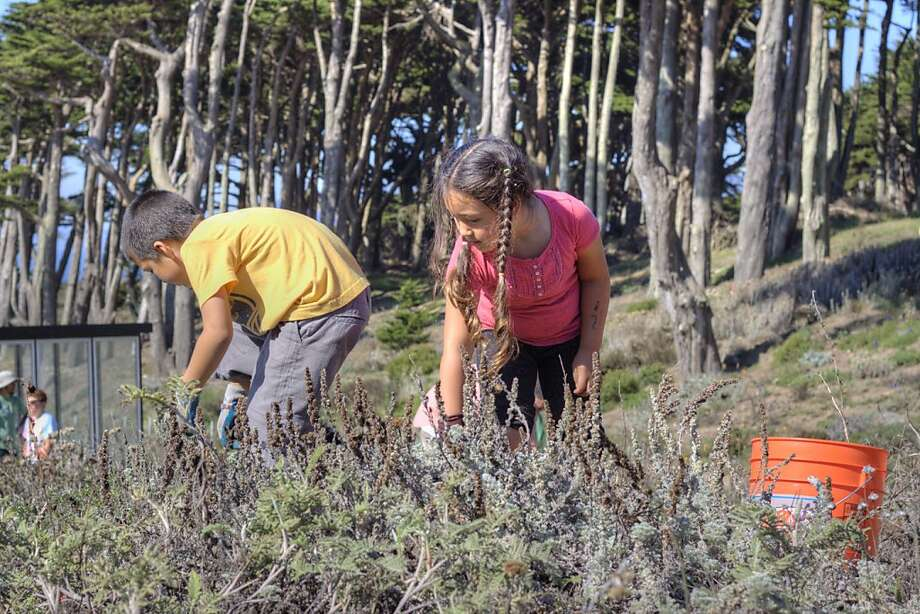 Children collect native plant Artemisia pycnocephala (beach sagewort) at Lands End, where volunteers can weed Saturday. Photo: Maria Durana