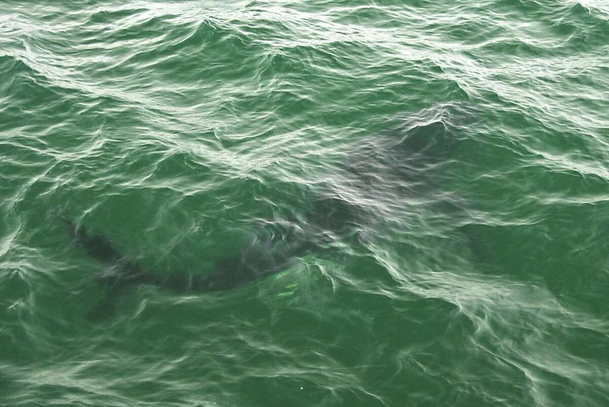A great white shark is seen on September 16, 2012 in Monterey Bay.