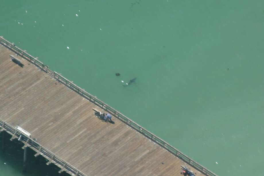 A great white shark comes close to a pier at Seacliff State Beach. The sharks are back for their annual migration. Photo: Sean Van Sommeran, HO