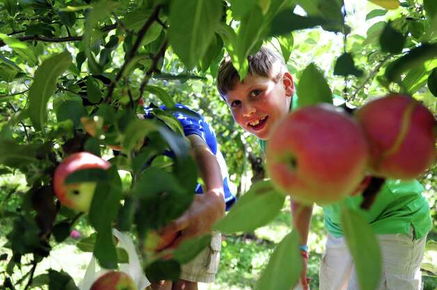 James Kontulis, 9, of New Canaan, reaches out to pick  an Empire apple Wednesday, Sept. 19, 2012 at Silverman's Farm in Easton, Conn. Photo: Autumn Driscoll / Connecticut Post