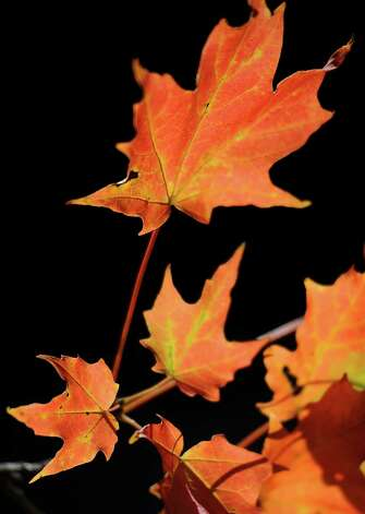 The changing color of maples leaves is an early sign that fall is approaching in Fairfield, Conn. on Wednesday Sept. 19, 2012. Photo: Cathy Zuraw / Connecticut Post