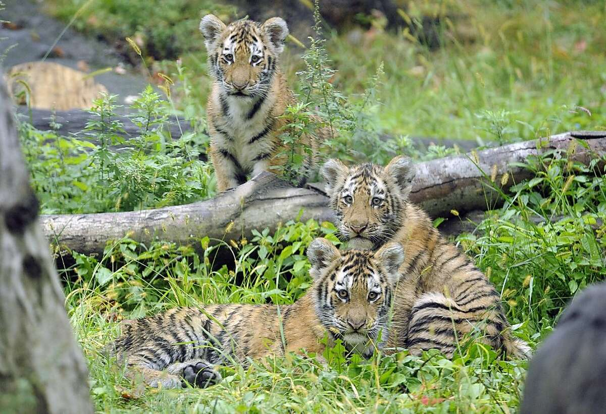 CORRECTS THAT MAN DID NOT LOSE LEG, ADDS NEW INFO ON HIS CONDITION- FILE- In this Sept. 20, 2010 photo provided by the Wildlife Conservation Society, three Amur tiger cubs rest by a fallen tree limb at the Tiger Mountain exhibit at the Bronx Zoo in New York. Authorities say a visitor at the Bronx Zoo leaped from an elevated monorail train and plummeted into an exhibit, where he was mauled by a tiger. New York City police say the man suffered puncture wounds to his back from the mauling. Police say he also has a broken ankle and a broken arm. (AP Photo/WCS, Julie Larsen Maher, File)