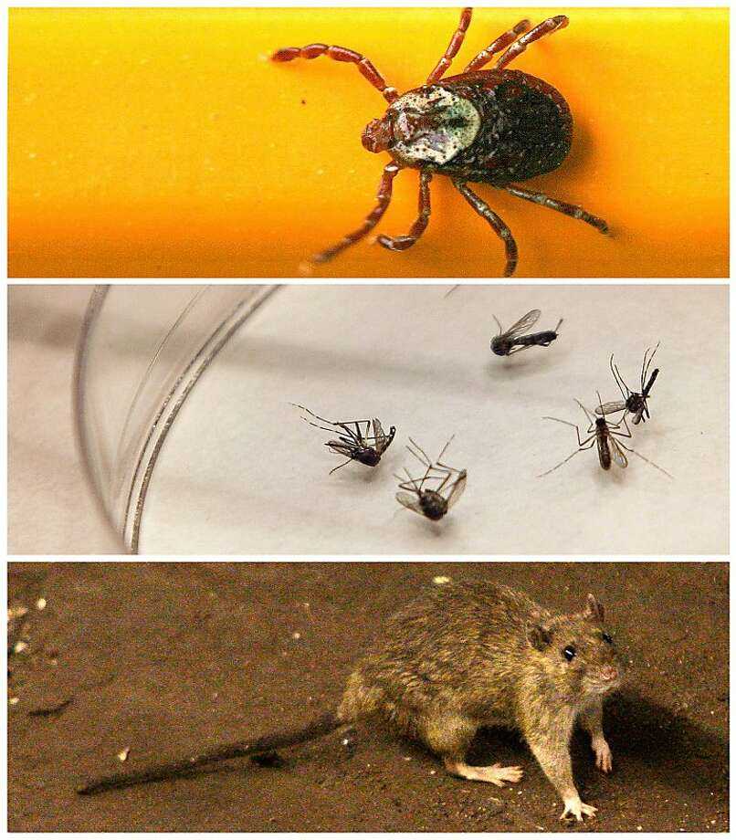 FILE - This photo combo shows, from top, a wood tick - or dog tick - clings to a pencil used for scale, in Springfield, Ill. on June 8, 2010,  mosquitoes are sorted at the Dallas County mosquito lab in Dallas on Aug. 16, 2012, and a rat wanders the subway tracks at Union Square in New York on June 15, 2010. Hantavirus, West Nile, Lyme disease and now, bubonic plague can be spread potentially by ticks, mosquitoes, and rats. (AP Photo/File) Photo: Associated Press