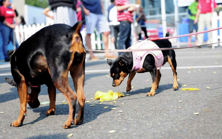 A few dogs tentatively check out the remains of a pumpkin. Photo: LINDSEY WASSON / SEATTLEPI.COM