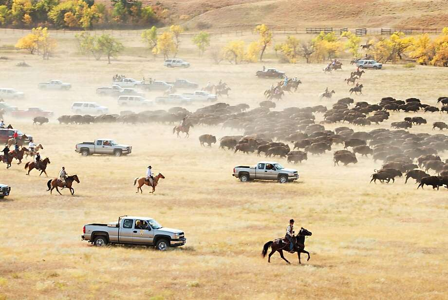 More than 1,000 buffalo thunder across the prairie land Monday, Sept. 24, 2012, during the 47th annual Buffalo Roundup in western South Dakota's Custer State Park. Event organizers estimate that more than 14,000 people attended the event. (AP Photo/Kristi Eaton) Photo: Kristi Eaton, Associated Press