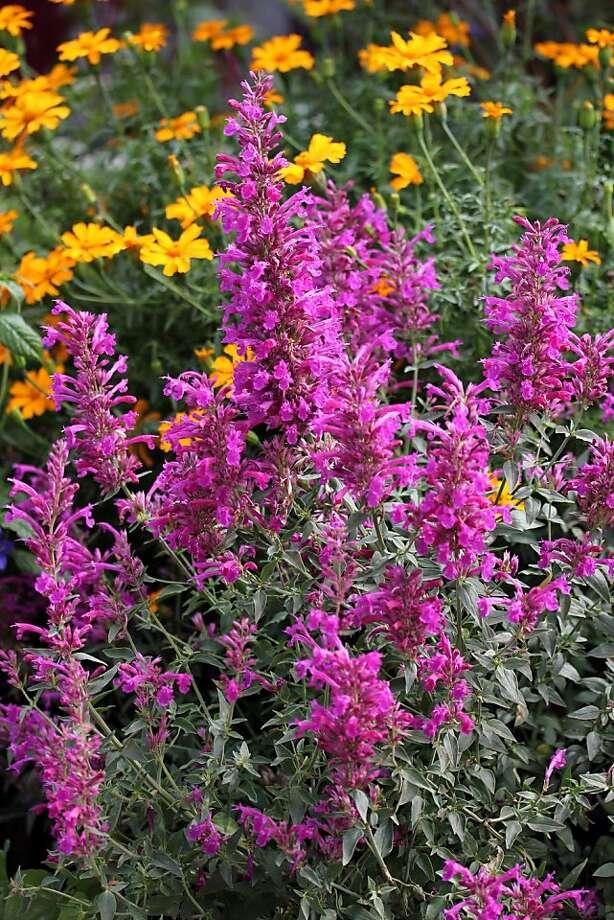 Agastache 'Purple Pygmy' Photo: Annie's Annuals & Perennials