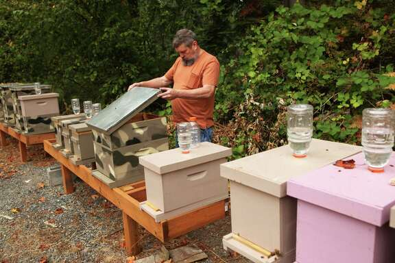 Mark Hohn checks out bee hives in the backyard of his Kent, Wash., home. His bees are the first in the state to become infected by a parasitic fly.