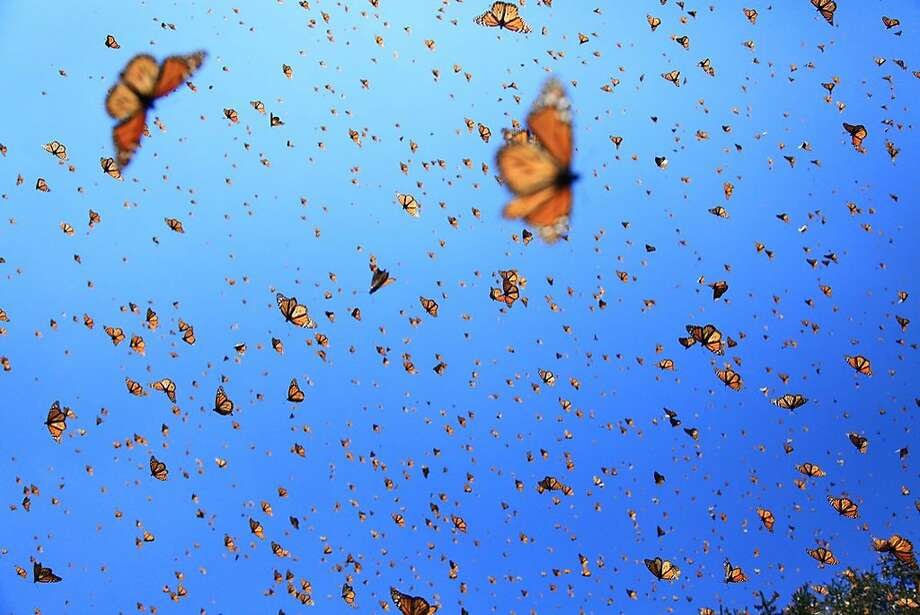 """Flight of the Butterflies,"" from SK Films, a Toronto production company, premiered at the Smithsonian Institution's National Museum of Natural History. Photo: Courtesy Of SK Films"