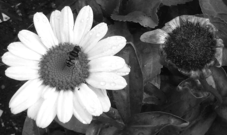 "Lee Paine didn't expect to find much to photograph on a September visit to Montgomery Pinetum on Bible Street. But, she found plenty of interesting subjects - especially flowers and bees, including those in the photo above. ""I loved the contrast of the flowers in this shot in black and white,"" Paine says. ""Then along came a bee, and the picture was complete."" Photo: Contributed Photo"