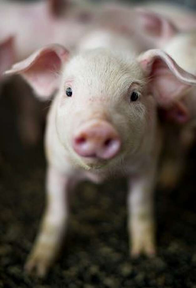A twenty one day-old pig stands in a weaning-to-market barn at Lehmann Brothers Farms LLC in Strawn, Illinois, U.S., on Thursday, March 22, 2012. Pork stockpiles in the U.S. rose 8.8 percent at the end of February to a record from a year earlier on increased production, the government said. Photographer: Daniel Acker/Bloomberg (Bloomberg)