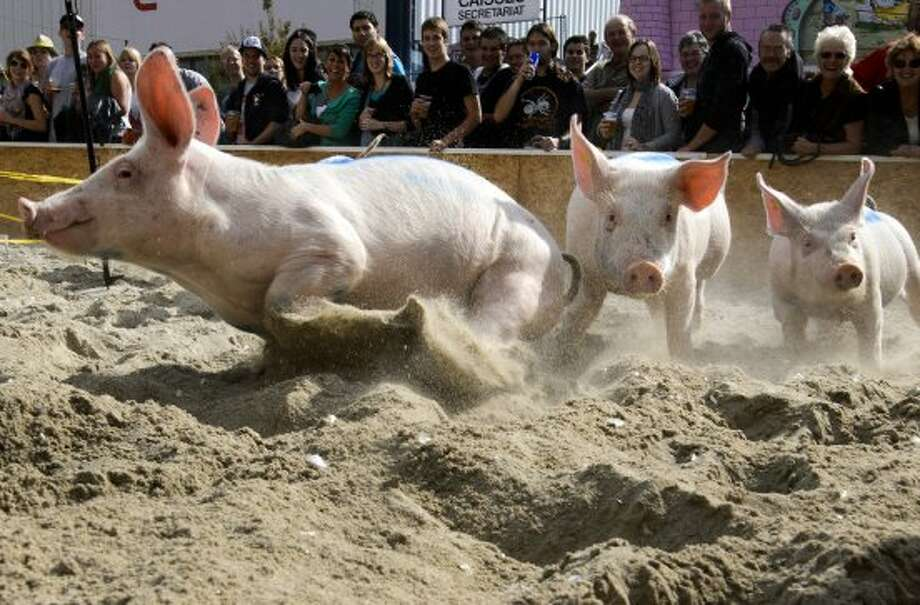 "Pigs from the team ""Rapid pigs from the Jorat"" round the track during their race on September 16, 2012 at the Swiss fair ""Comptoir Suisse"" in Lausanne.  AFP PHOTO / FABRICE COFFRINIFABRICE COFFRINI/AFP/GettyImages (AFP/Getty Images)"
