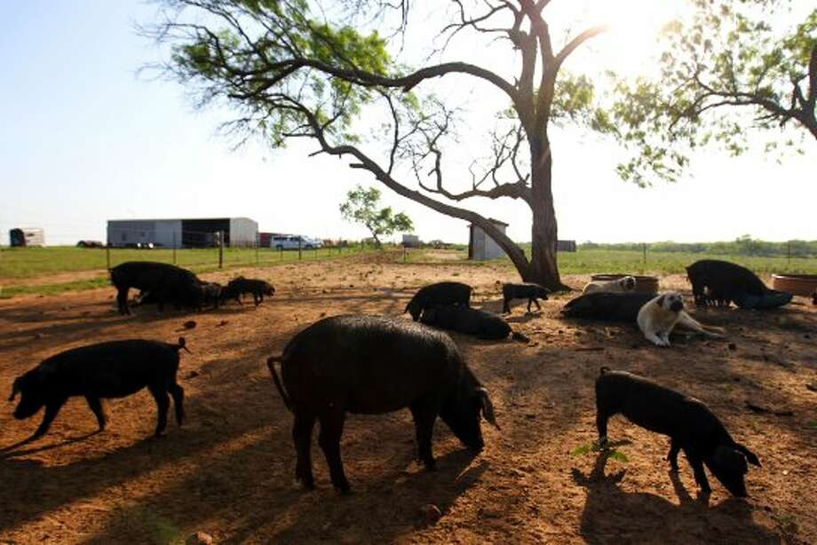 The Escobedos' Large Blacks graze during the Slow Food South Texas Farm dinner with Chef Steve McHugh of Luke at South Texas Heritage Pork in Poth, TX, Sunday, April 1, 2012. (JENNIFER WHITNEY) (COURTESY SLOW FOOD SOUTH TEXAS)
